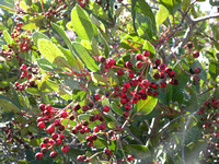Toyon or Christmas Berries