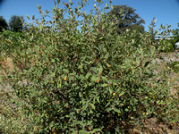 Coffeeberry Bush