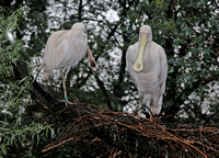 Yellow-billed Spoonbills