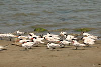 Caspian, Royal & Elegant Terns