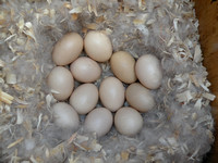 Wood Duck Eggs