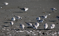 Sanderling (Winter Plumage)
