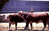 Hereford Bull Mount Intention