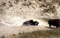 Bison Dust Bathing