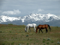 Grazing Horses And Ruby Mts.