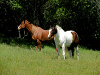 Horses For Working Cattle