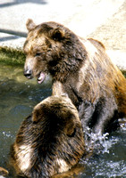 Brown Bears Duking It Out