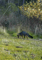 Gray Fox Smelling Object