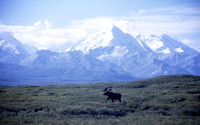 Moose & Mt. McKinley